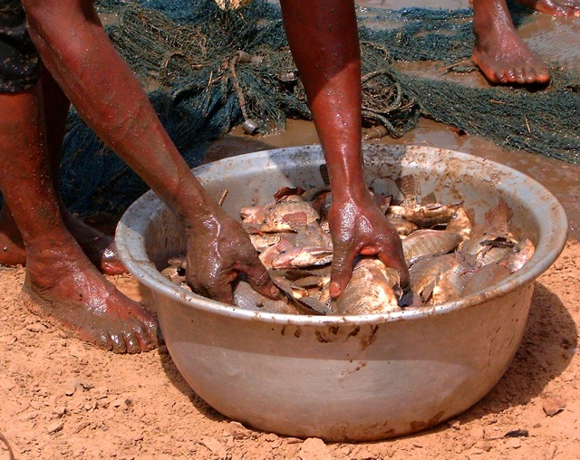 The first harvest from fish ponds in Ghana