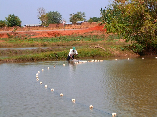 Harvesting was done with loosely woven nets that allow small fish to remain in the pond.
